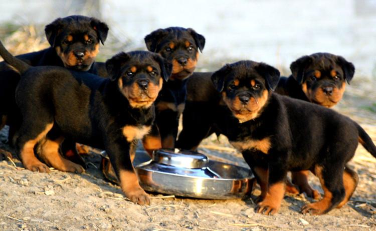 罗威拿犬_罗威拿犬_罗威拿犬体重